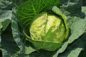 cabbage-847079_1920